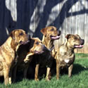 Johnson Staffordshire Terriers